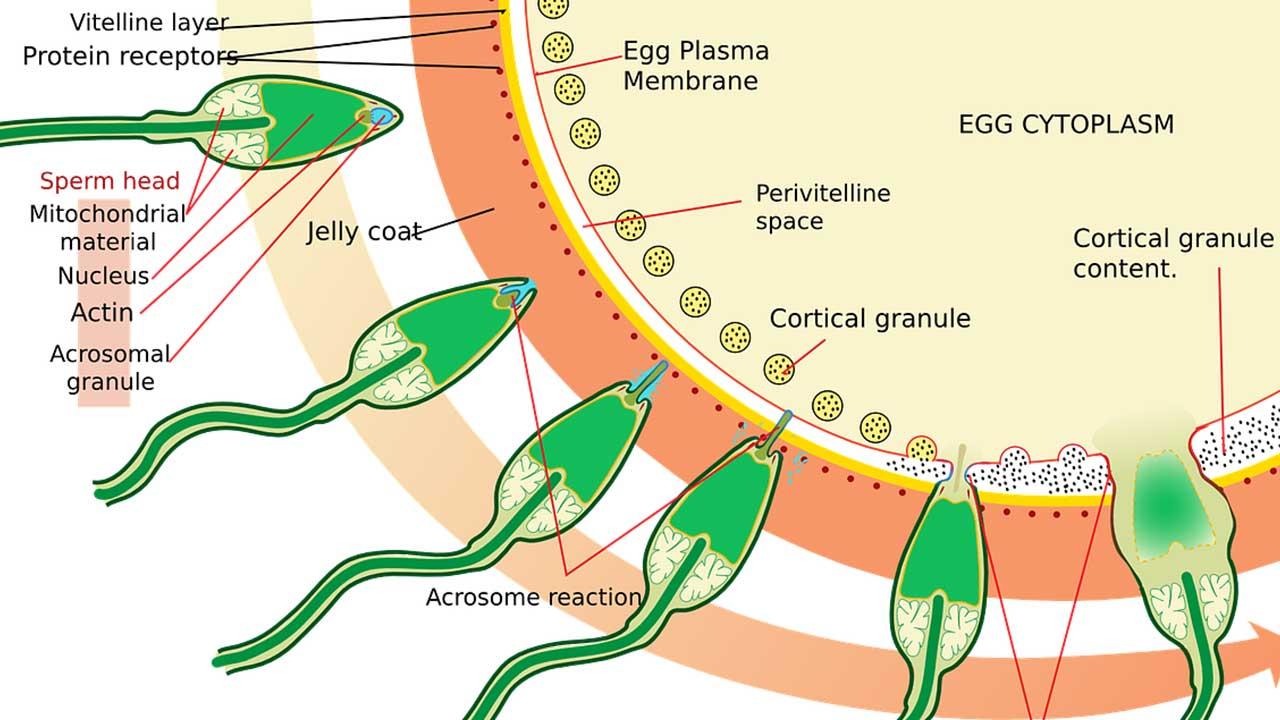 perfect sperm